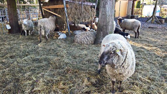 Öko-Rasen mähen für große Wiesenflächen mithilfe seiner Schafsherde